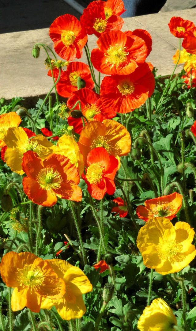 花草中的妙品虞美人多彩多姿入藥主治:清熱,燥濕,止痢,治痢疾 - 每日頭條