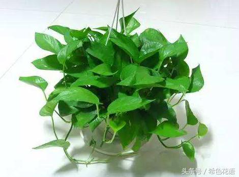 介紹幾種適合水培的植物。方法簡單。有你喜歡的嗎? - 每日頭條