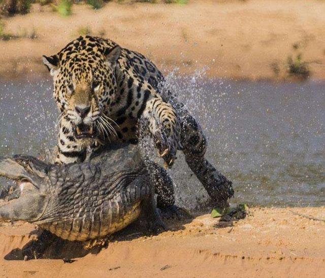 花豹怎樣捕殺獵豹?奇趣自然 - 每日頭條