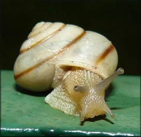 隨手捉一隻小蝸牛。你認識嗎?在小區給孩子上一節博物課吧! - 每日頭條