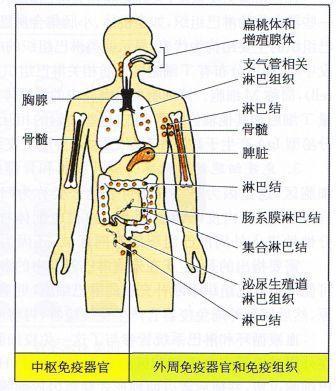 人體最大的免疫器官是什麼?95%的人都答錯! - 每日頭條