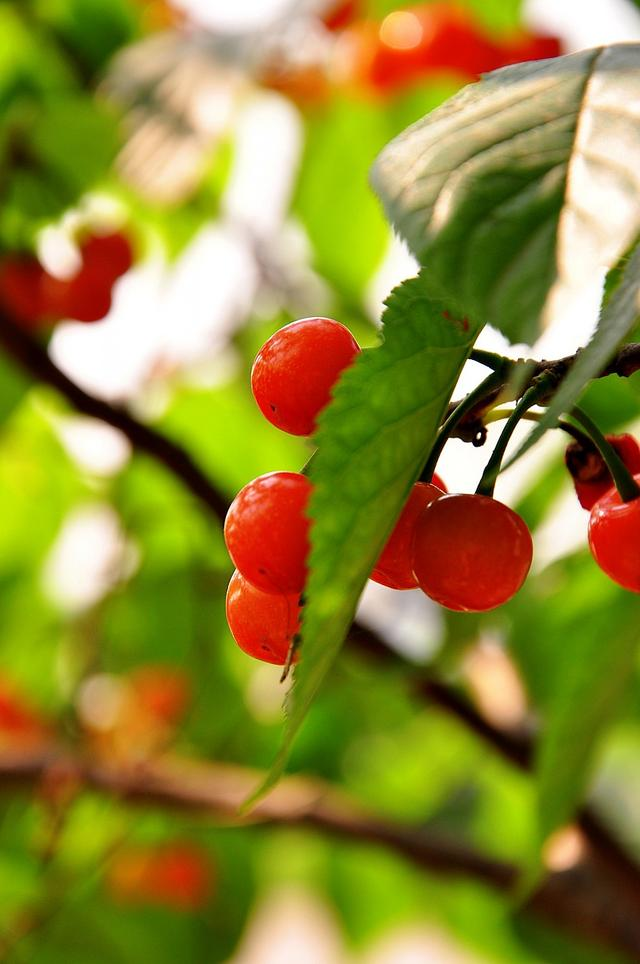 櫻桃雖好也要適量哦 這樣吃 才會更健康 - 每日頭條