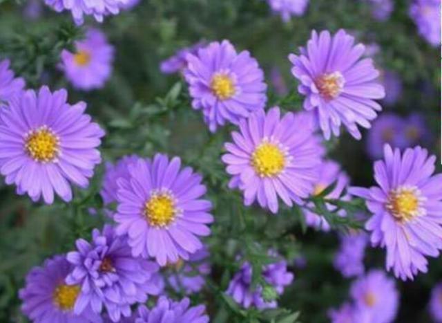 紫菀花:紫菀花的種植生長環境 - 每日頭條
