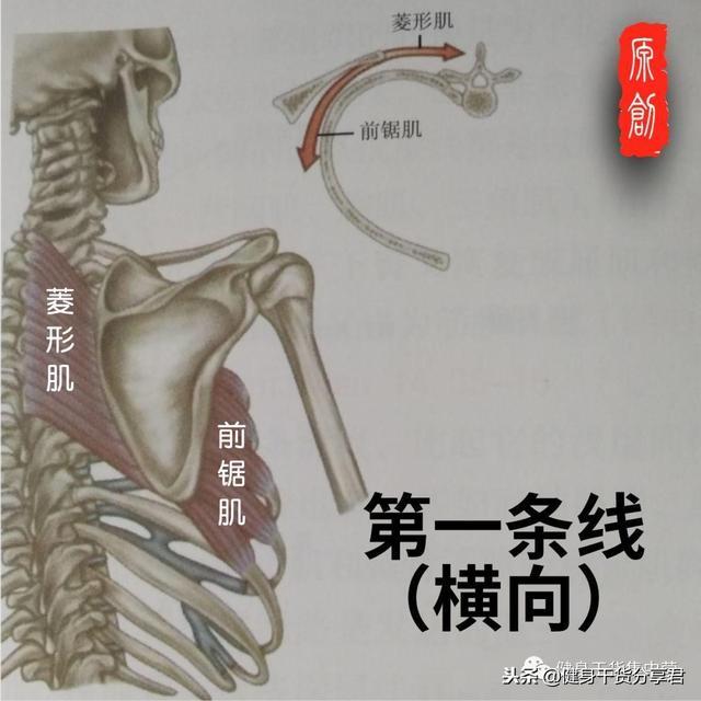 肩胛骨專題——近端穩定,16塊肌肉來幫忙~ - 每日頭條