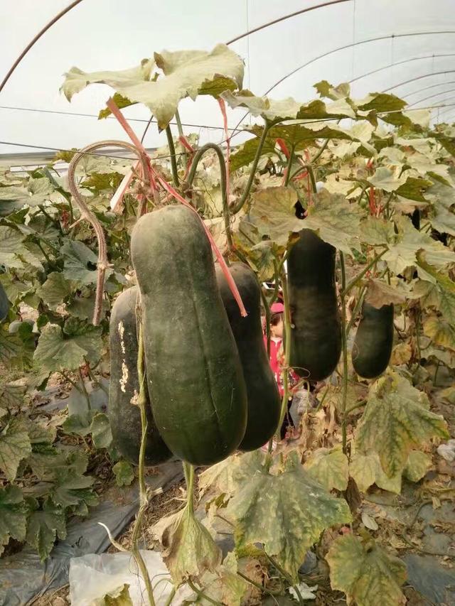 農場裡的黑皮冬瓜怎麼種才能高產? - 每日頭條