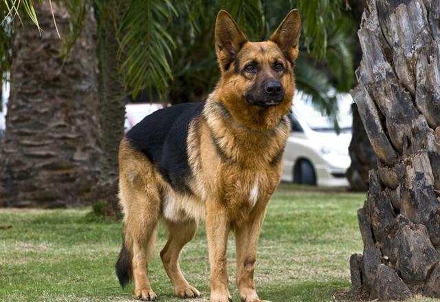 十種世界上最聰明的狗——NO.3德國牧羊犬 - 每日頭條