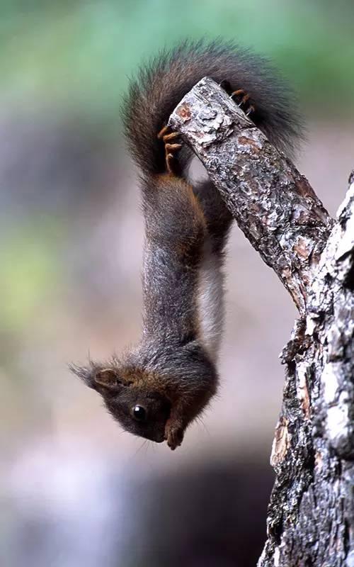 小松鼠的尾巴是為了可愛?不不不。大有用處喲 - 每日頭條