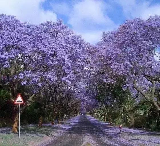 滿樹的紫色花你見過嗎?藍花楹正盛開 - 每日頭條