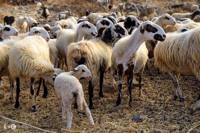 羊破傷風的癥狀和防治方法 這些對養羊戶很有幫助 - 每日頭條