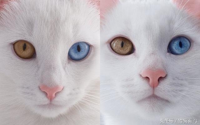 一對擁有「陰陽眼」的雙胞胎貓咪。如此動人 - 每日頭條