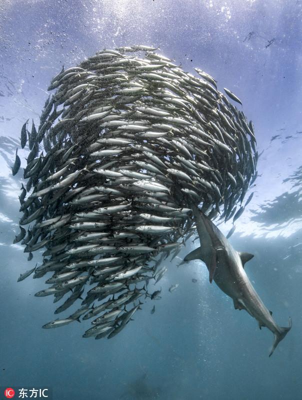 沙丁魚抱團遷徙產卵 為鯊魚提供絕佳機會 - 每日頭條
