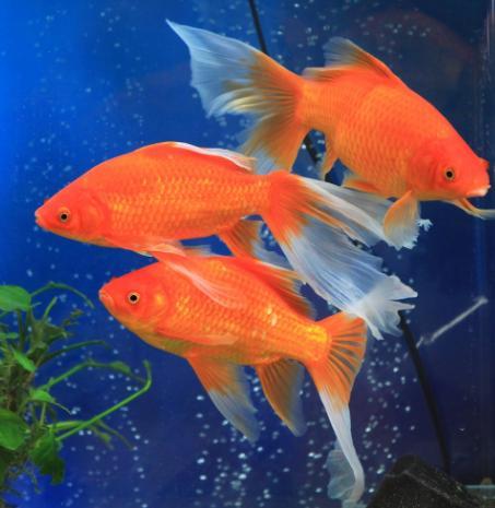 誰說冷水觀賞魚不好養?這幾種冷水魚。非常「皮實」好養活 - 每日頭條