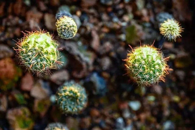 種植仙人掌並讓它們開花 - 每日頭條