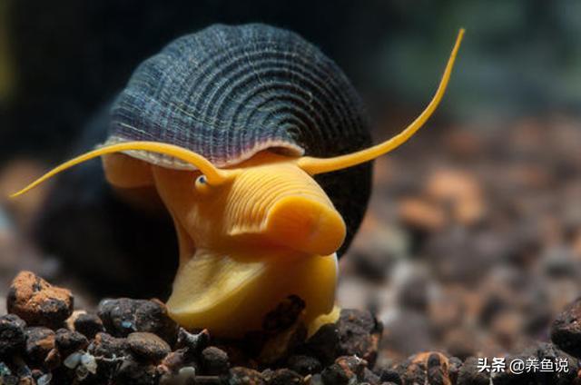 新手養魚3種耐養活,又能幫忙清潔魚缸的螺,還具備較高觀賞性 - 每日頭條