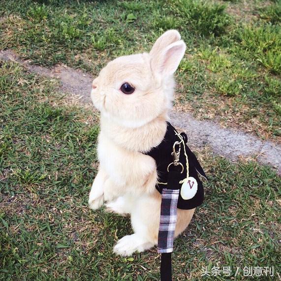 遛兔子散步是怎樣一種體驗。就是趴在地上不想動 - 每日頭條
