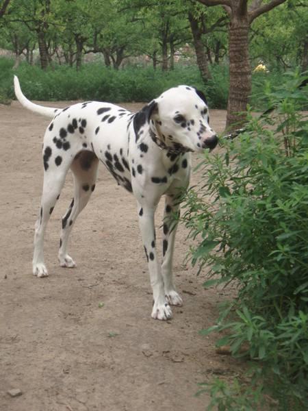 寵物圖集:大麥町犬 - 每日頭條