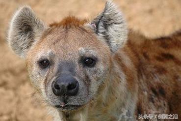 非洲二哥——斑鬣狗 - 每日頭條