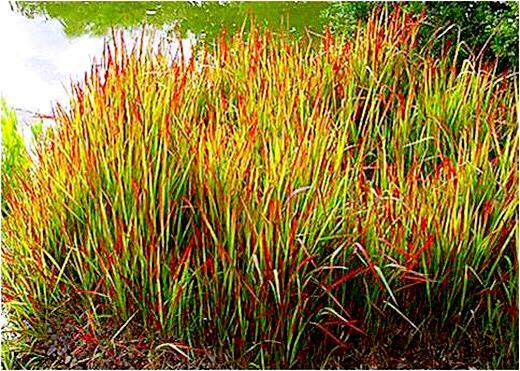 觀賞草 ll 五彩斑斕四季有景,繁殖力強經濟實用 - 每日頭條