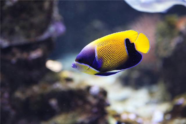 魚類圖集:神仙魚 - 每日頭條