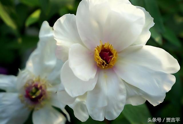 西安交大校園的櫻花牡丹花鬱金香都開了 在這先睹為快 - 每日頭條
