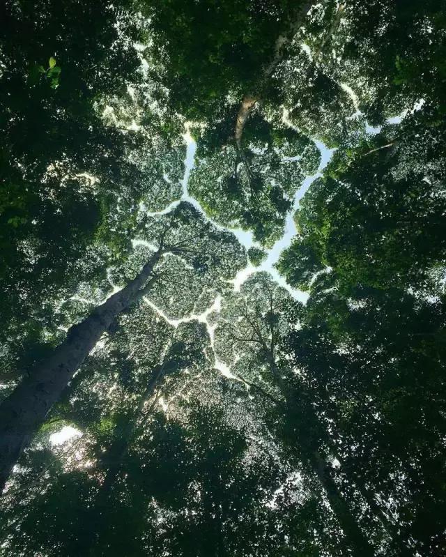 樹冠羞避丨連樹都知道禮讓,這種有趣的自然現象太神奇了 - 每日頭條