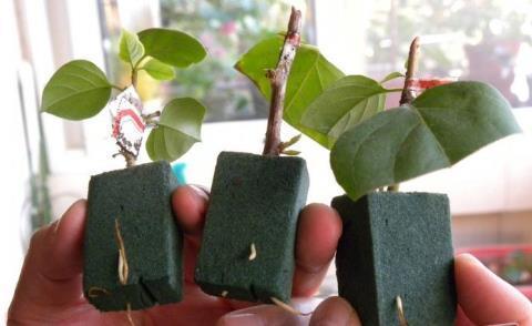 三角梅扦插繁殖成活率高。三角梅如何扦插。扦插時應該注意什麼? - 每日頭條