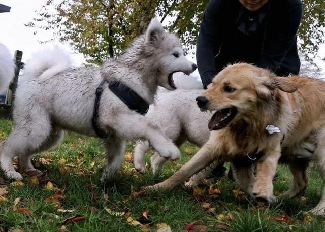 薩摩耶髒圖被瘋轉。網友:這狗我不要了 - 每日頭條