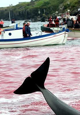 日本再次捕到333頭鯨魚 曾經是日本人必不可少的食材 - 每日頭條