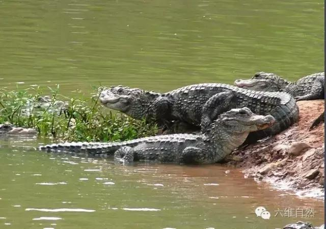 即使是兇猛的揚子鱷也瀕臨滅絕,中國獨有的動物應保護 - 每日頭條