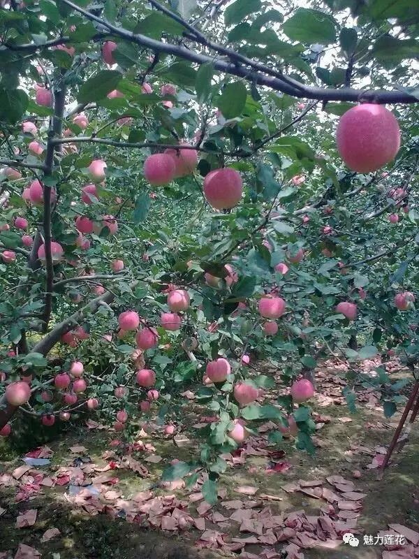 蘋果的生長過程 - 每日頭條