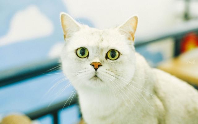 雅適貓糧小課堂-常見的十大寵物貓品種介紹 - 每日頭條