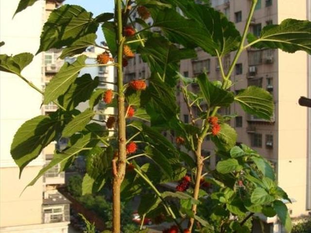 水果盆栽之一「桑葚盆栽」,用來喂養蠶寶寶。其實桑樹的作用不僅僅于此,通過調節實現促,桑葚汁,種植後兩星期卽可施肥,你家有麼? - 每日頭條