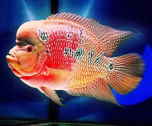 羅漢魚擺件---風水魚。有招財納福之神通 - 每日頭條
