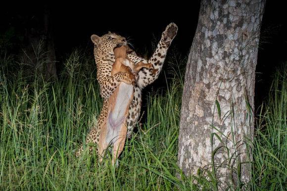這隻花豹準備在樹上享用剛捕獲的食物。沒想讓花豹悲催一幕發生了 - 每日頭條