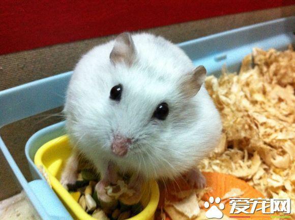 銀狐倉鼠怎麼上手 儘量讓它熟悉你的氣味 - 每日頭條