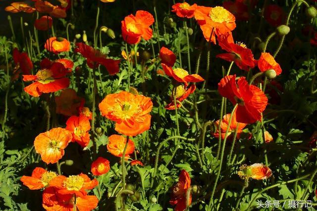 堪稱花草中妙品的「賽牡丹」,全株有毒,入藥需謹慎 - 每日頭條
