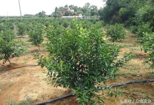 柑橘樹10大整形修剪手段 - 每日頭條