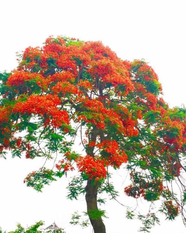 愛植物:鳳凰木,張愛玲筆下熱火如歌的影樹 - 每日頭條