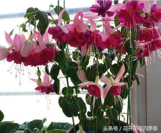 這種花,花開如瀑易爆盆,一開就停不下來,陽臺盆栽之佳品! - 每日頭條