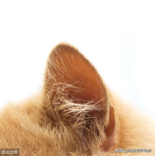 貓耳朵髒一定是耳蟎引起的?錯。需警惕更嚴重的耳部疾病 - 每日頭條