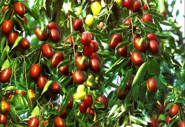 大棗的營養價值與養生功效 - 每日頭條