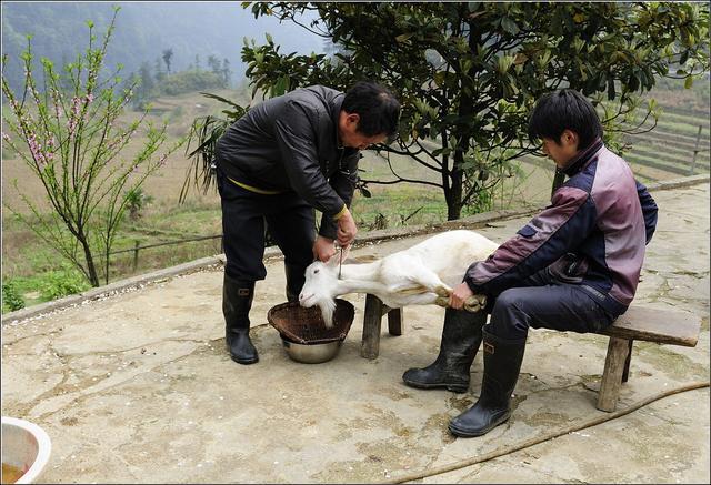 全程記錄農村殺羊過程。這種宰羊方法不溫柔! - 每日頭條