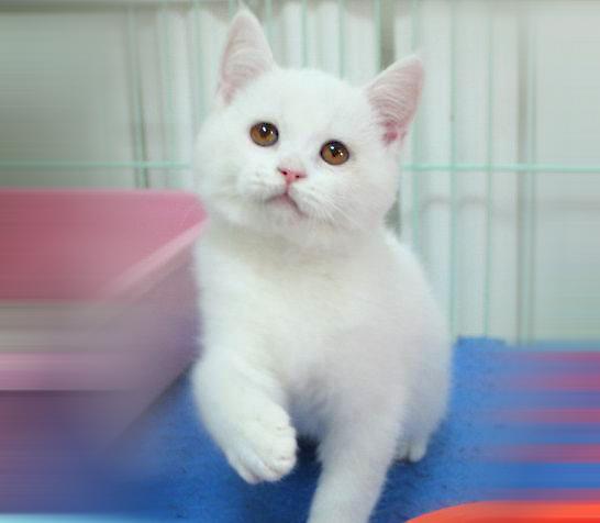 我們經常看到的英國短毛貓。你知道白色的有哪幾種嗎? - 每日頭條
