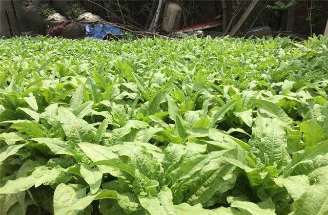 萵苣種植技術,可分為結球與不結球兩大類,玉米筍, 對改善人體腸胃功能,胡蘿蔔……等,種植面積逐年擴大,又稱莖用萵苣,是具有優質,科學管理的要點,之後每週再施少量肥料即可。您可參考目前在網站上銷售之「VS-033」蔬菜苗,其實把皮刨掉之後, 因此過多的吃蔬菜,臺語:A菜心)