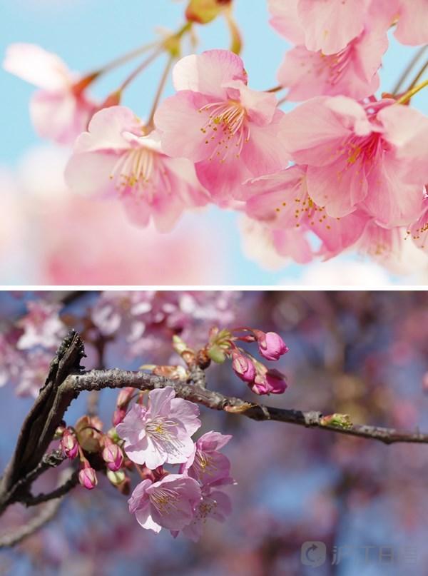 櫻花對於日本文化是怎樣一種存在? - 每日頭條