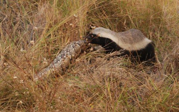 蜜獾捕食巨型水蟒 並把另一條嚇跑 - 每日頭條