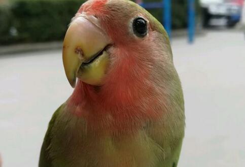 現在市面上牡丹鸚鵡一對要多少錢?它的壽命有多長?怎麼養長得快 - 每日頭條