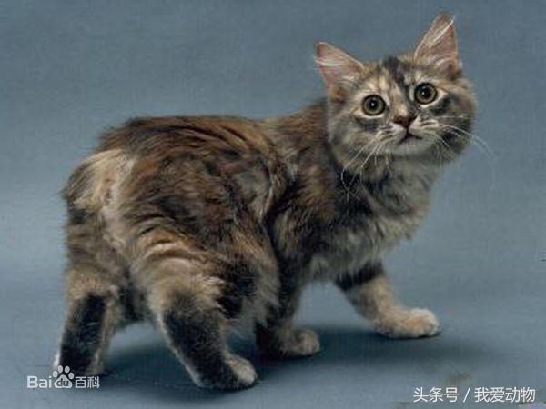 世界上十大最名貴的貓,你最想要哪只? - 每日頭條