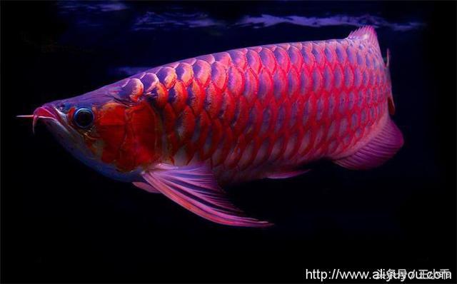 辣椒紅龍魚能長多大 - 每日頭條