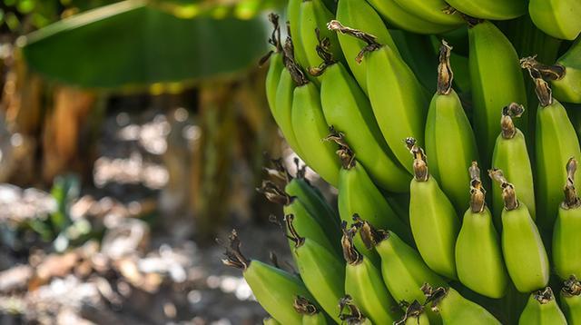 吃青皮香蕉、隔夜飯會減瘦? - 每日頭條